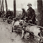 """From the start of the war, the Belgian army used large, strong dogs helped to move equipment, guns and supplies at the front.  Dog-drawn vehicles were common in Belgium before the war. """"They stood fire well, besides being readily tractable, able to get over any kind of ground and showing themselves capable of enduring fatigue and rough weather."""""""