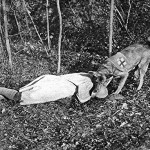 Dogs were used by armies and by the Red Cross to help with ambulance services on the front line. They were trained to keep calm under fire, find wounded soldiers and alert the medics. Dogs like this wore crosses around their middle, to show their special status as ambulance dogs.